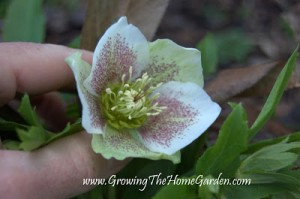 The Blooming of My Lenten Rose (Hellebore orientalis)