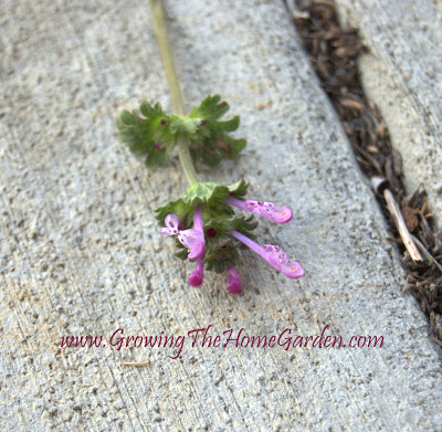 Henbit is Here!