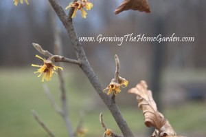 Witch Hazel Blooming