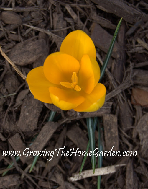 Yellow Crocus – The First