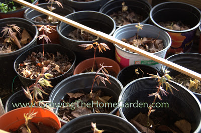 Japanese Maples from Seed Update!