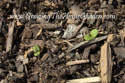 Spinach, Lettuce, and Tomatoes! (Seed Sowing Saturday)