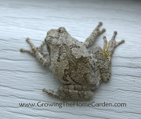 The Gray Tree Frog (Hyla versicolor)