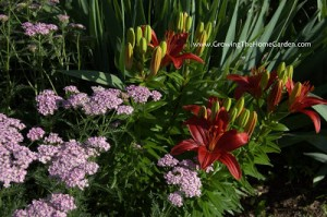 Cool Combos: Achillea and Asiatic Lily