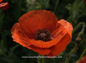 Just a Poppy Picture!