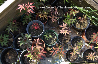 Japanese Maple Seedling Update