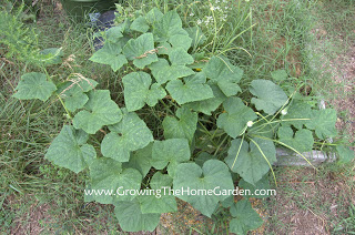 An Afternoon In The Vegetable Garden Growing The Home Garden