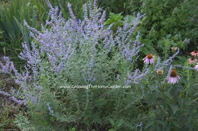Russian Sage flowering