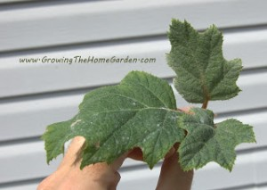 Oak Leaf Hydrangea Propagation (Cuttings)
