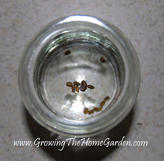 Germinating Baptisia australis Seeds
