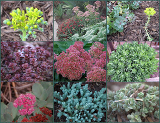 various types of sedum