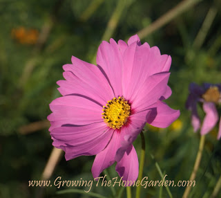 cosmos is a good companion plant