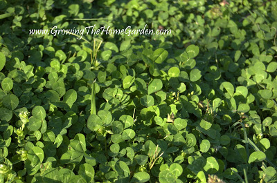 Clover – A Weed that Isn't! (Weedy Wednesday)