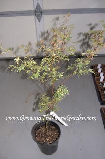'Beni Shichihenge' Japanese Maple (Acer palmatum)