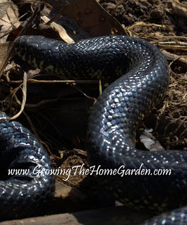 Kingsnakes: A Garden's Best Friend!