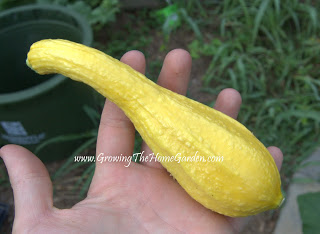 5 Tips to Grow Great Summer Squash!