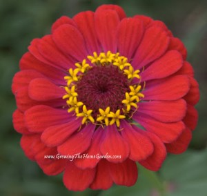 An Interesting Zinnia