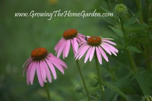 How to Save Seeds of Echinacea (Coneflower)