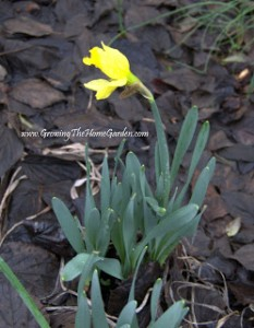 The First Daffodil of 2013