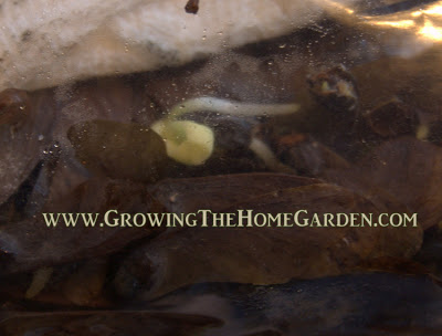 Germinating Japanese maples - growing from seed