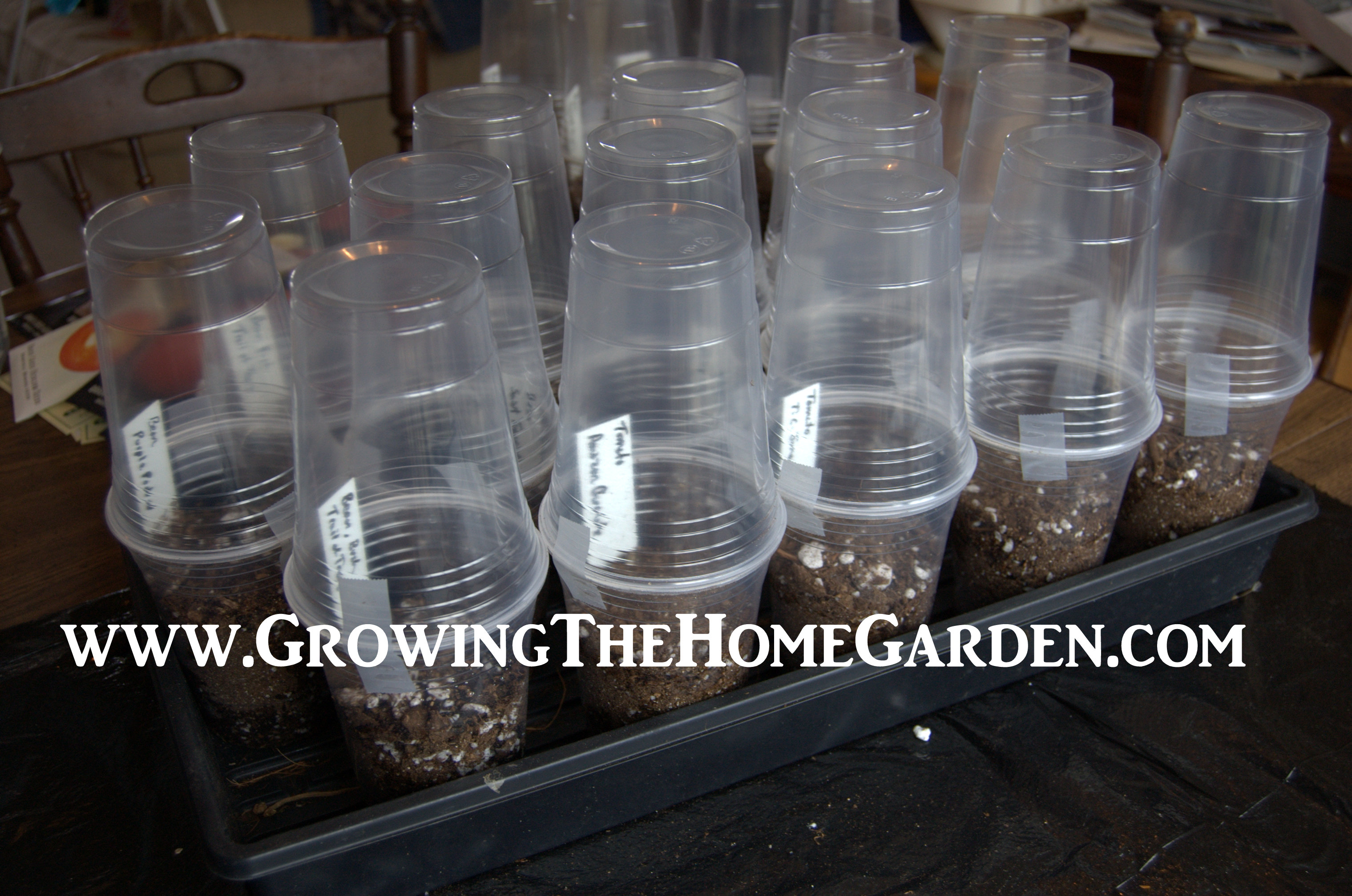 Seed Starting in Plastic Cup Greenhouses