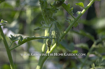 A Garden Update: The Tomatoes