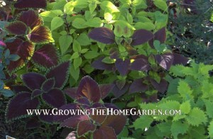 Growing Coleus in the Garden