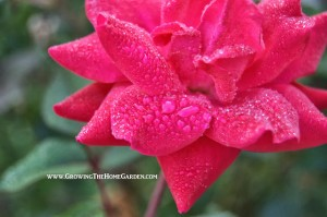 A Friday Photo: Red Knockout Rose with Morning Dew