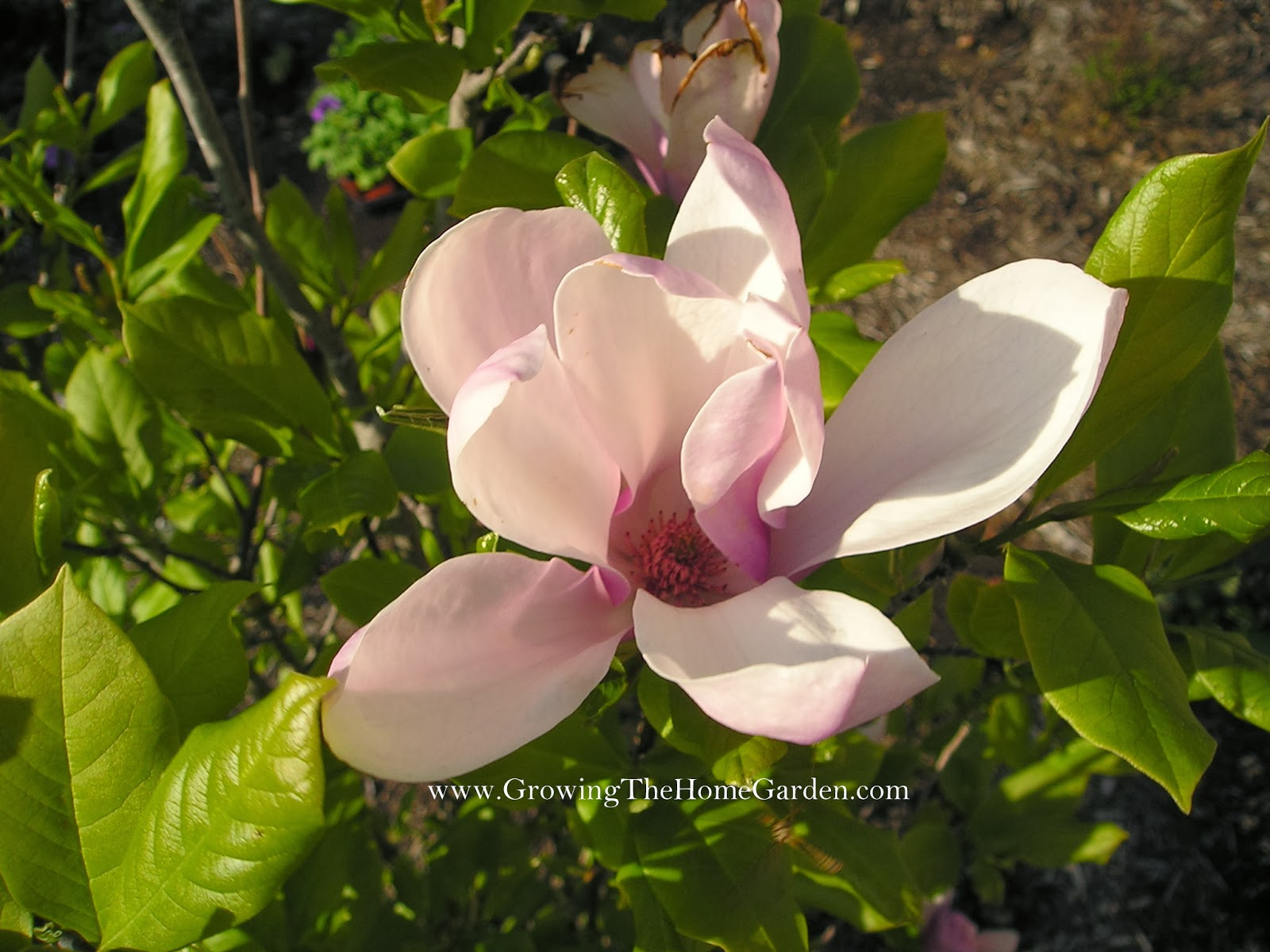 Propagating a Deciduous Magnolia Through Layering