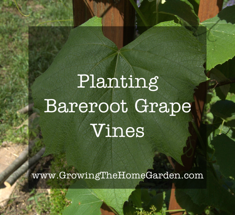 Planting Bareroot Grape Vines
