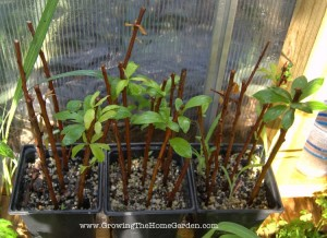 Propagating Plum Trees from Hardwood Cuttings