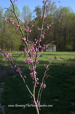 redbud tree blooming, flowers