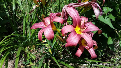daylily-homegarden-growing-6-2015-001