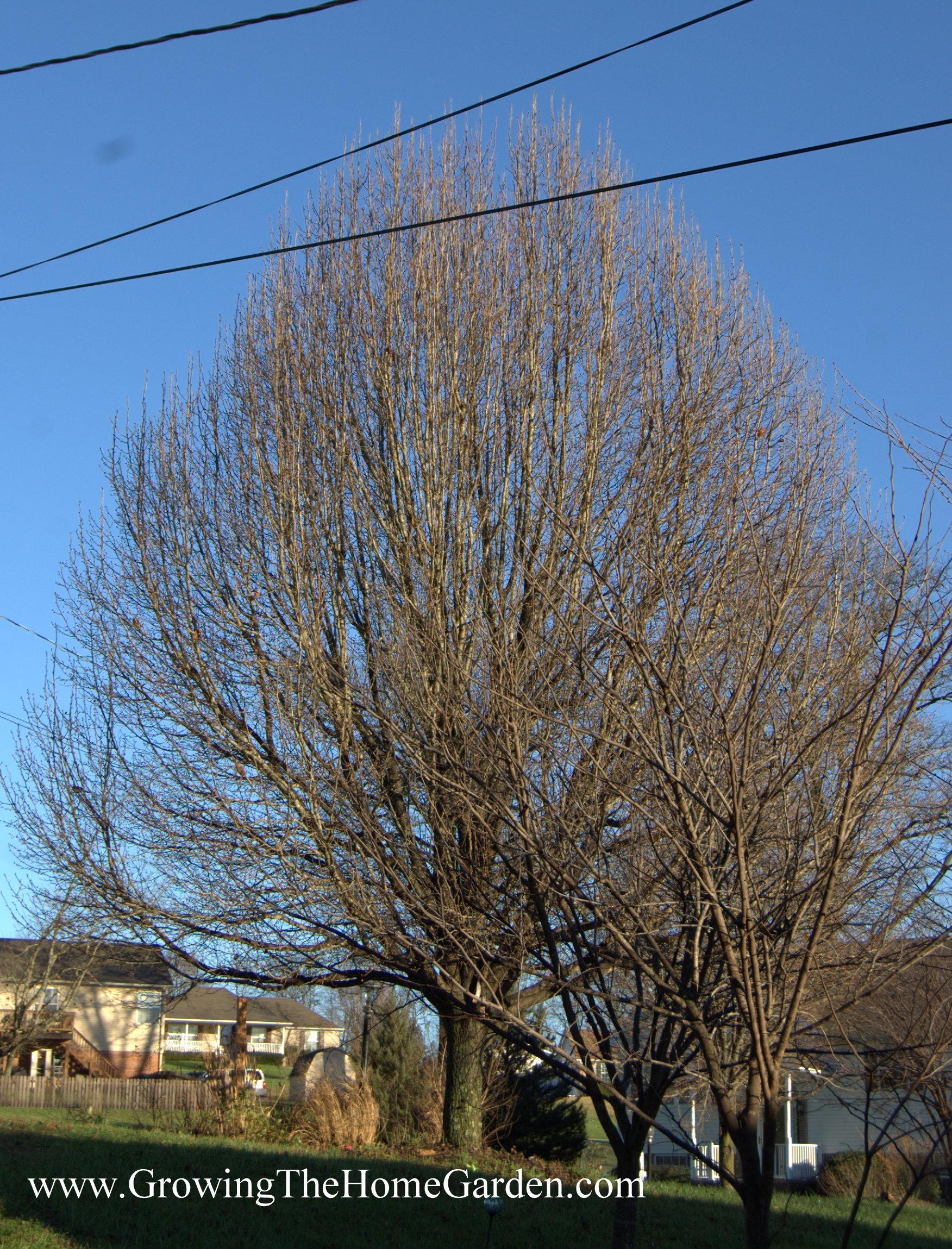 bradford-pear-tree