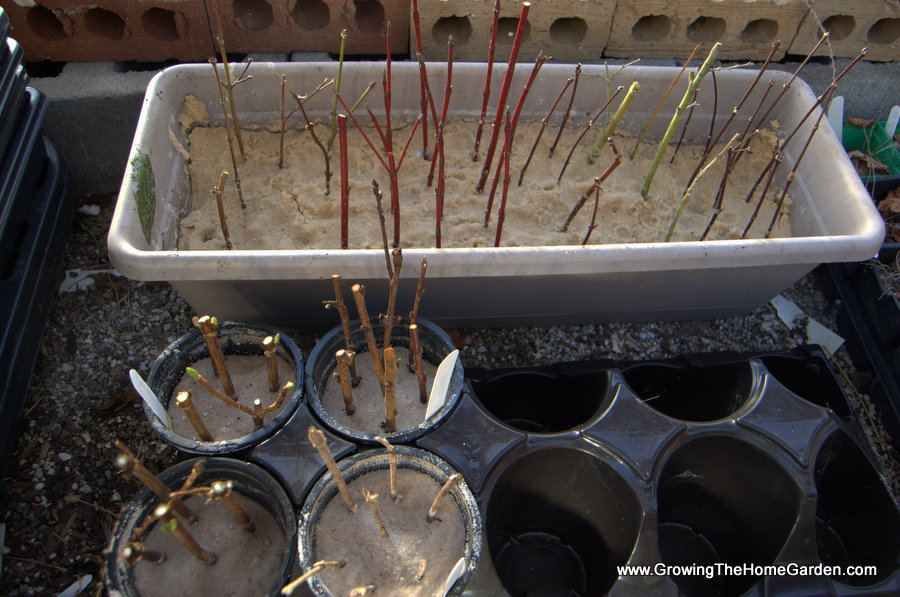 Growing Plants From Hardwood Cuttings Growing The Home
