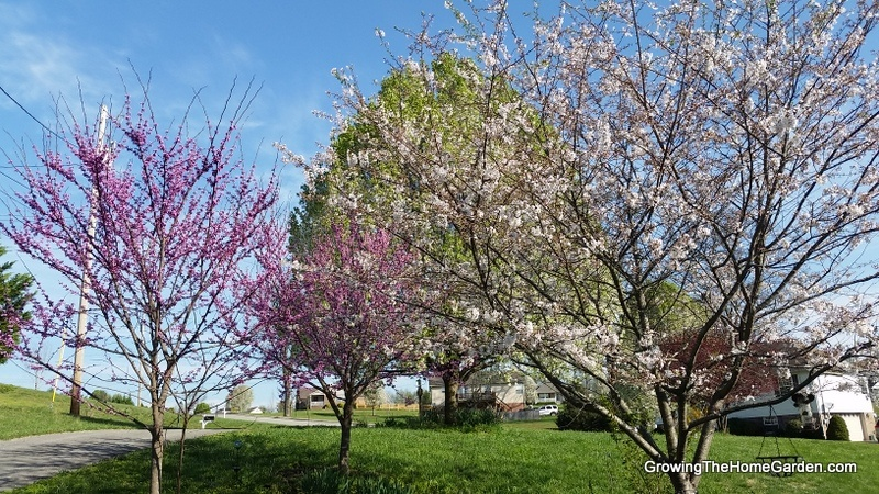 Yoshino and Redbud Trees in Bloom
