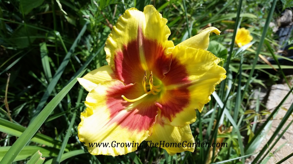 New Clown Face Daylily