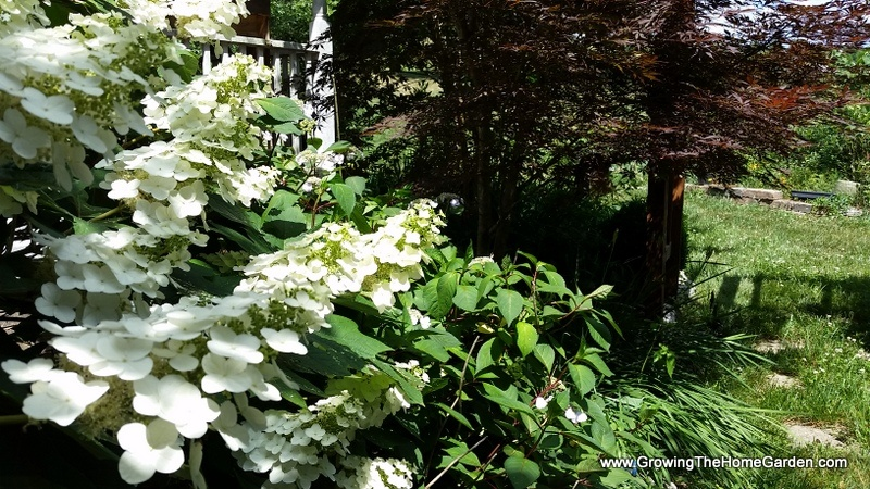 oak leaf hydrangea japanese maple 5-30-2016