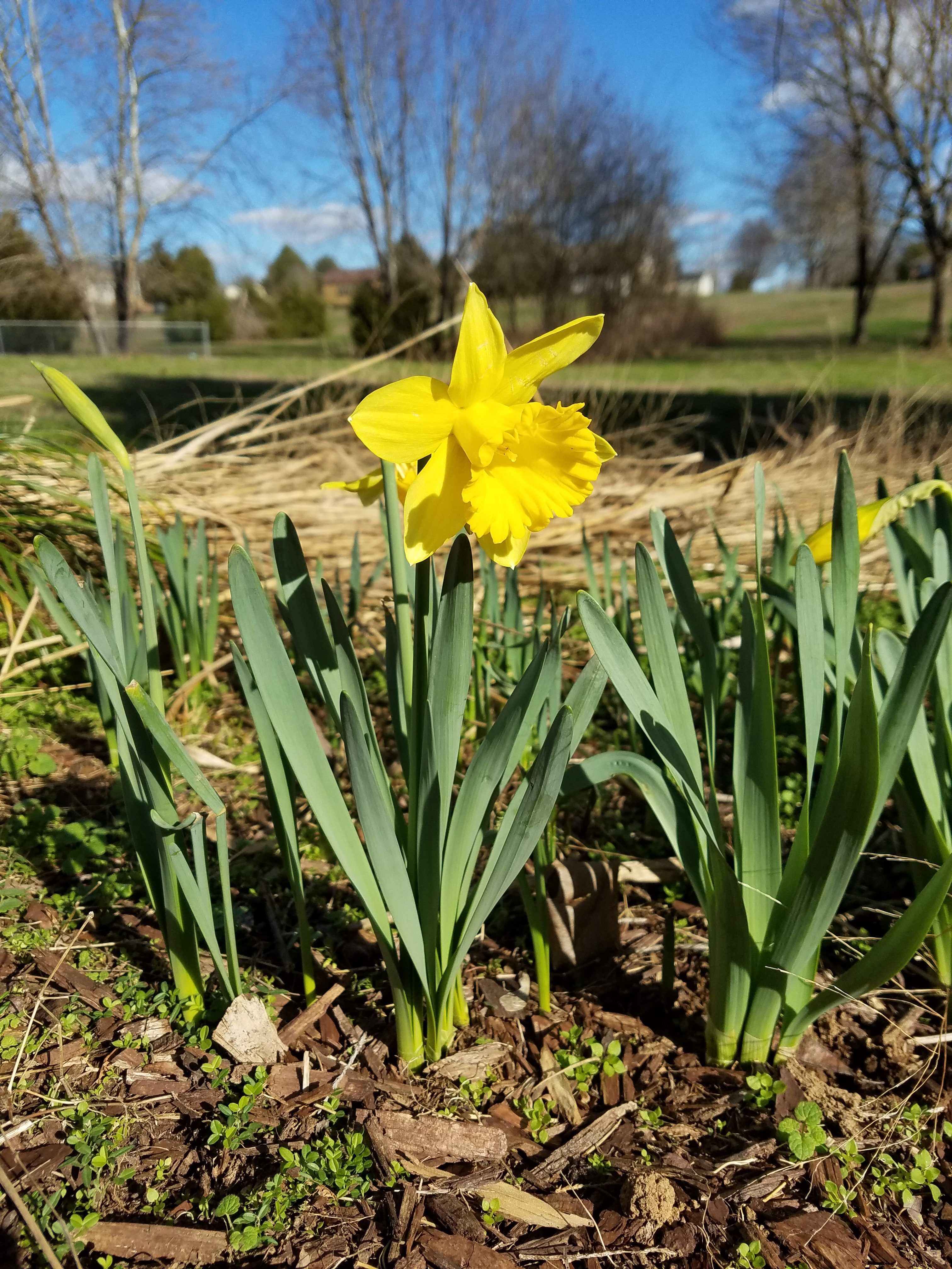 First Daffodils Of 2017 Growing The Home Garden
