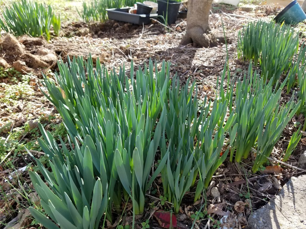 first daffodils of 2017