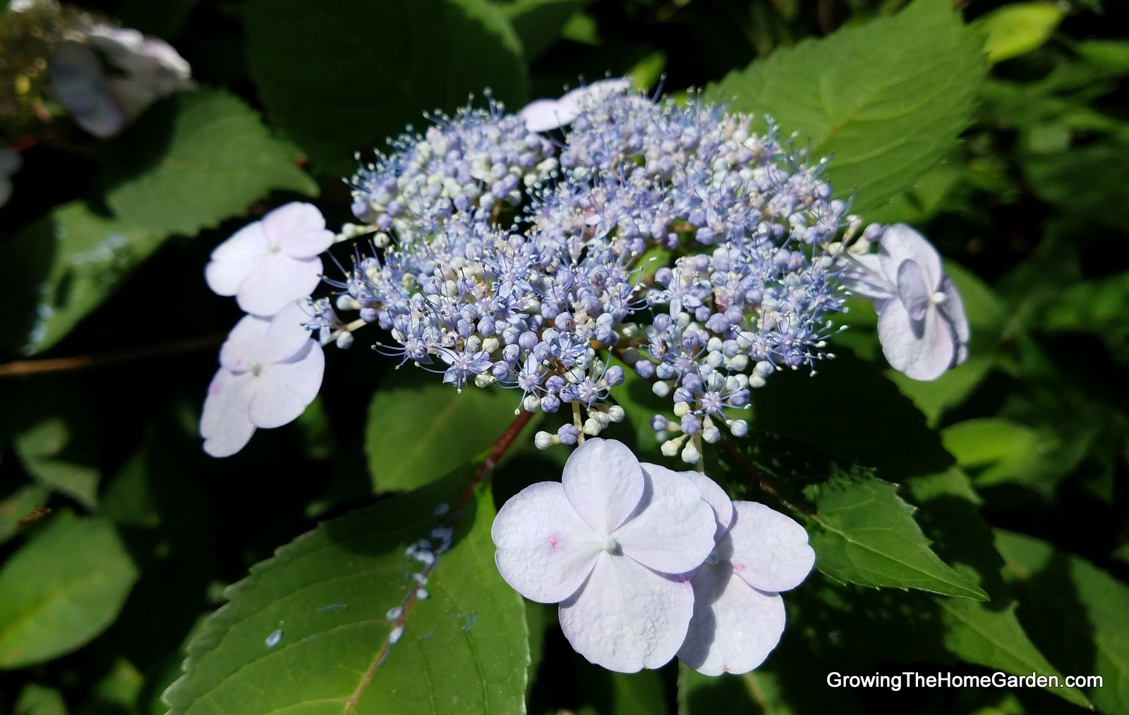 Hydrangea Propagation (Natural Layering)