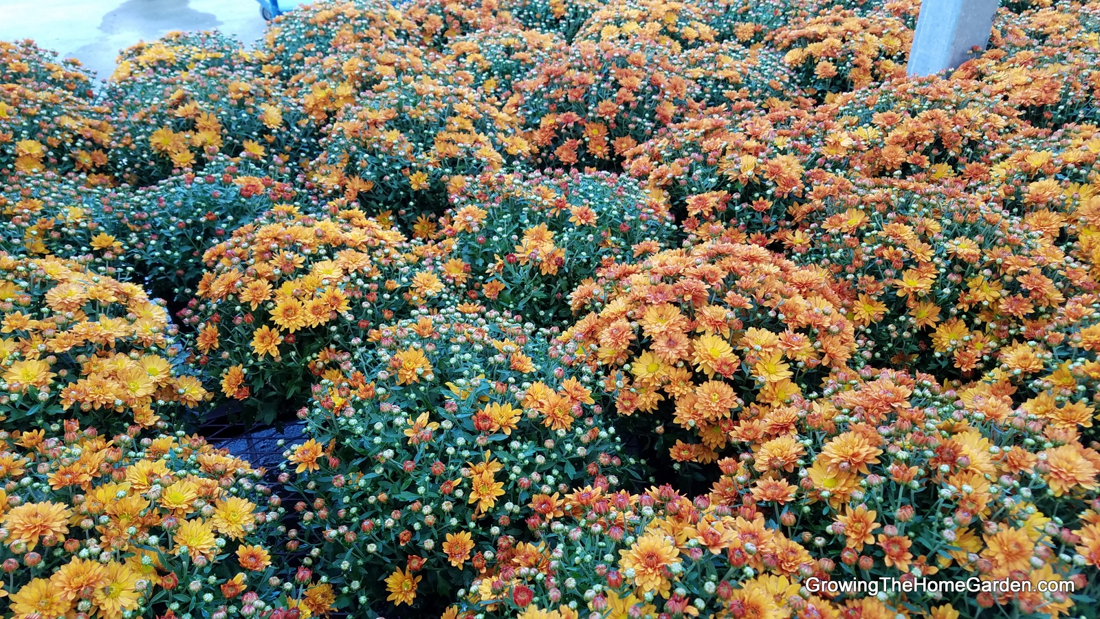 How to Buy Mums (Hardy Chrysanthemum)