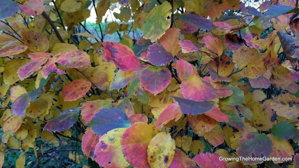 fothergilla fall color