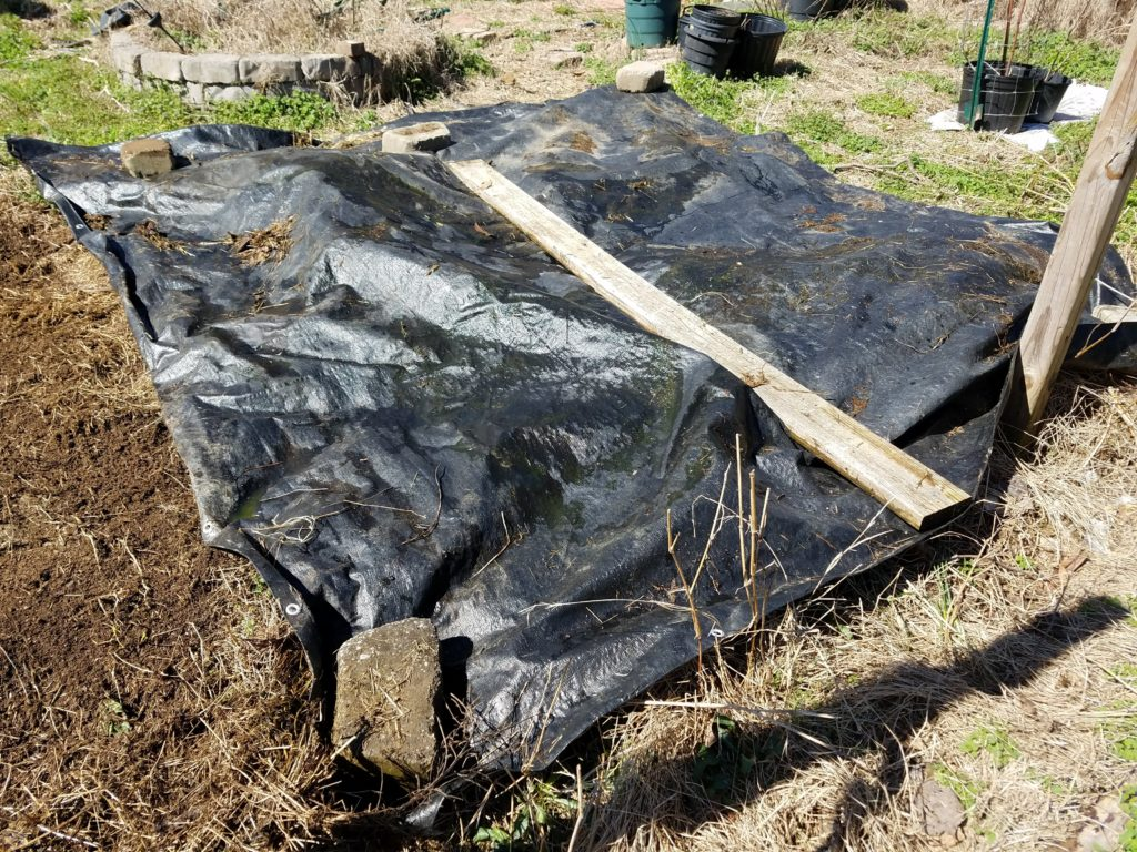 Black tarp to smother weeds in the garden