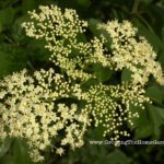 Elderberry Bush – Transplanting and Propagating