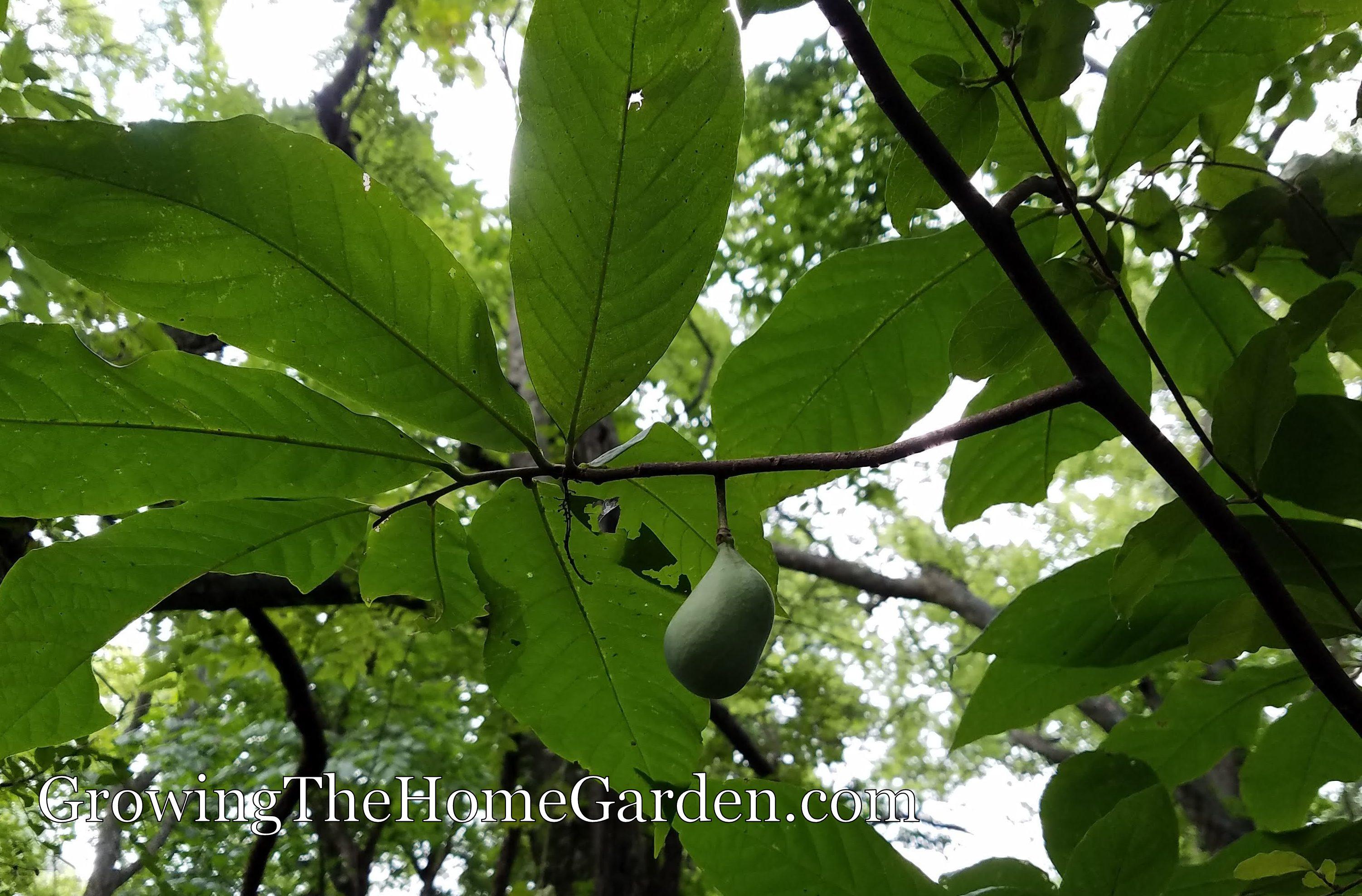 Pawpaws (Asimina triloba)