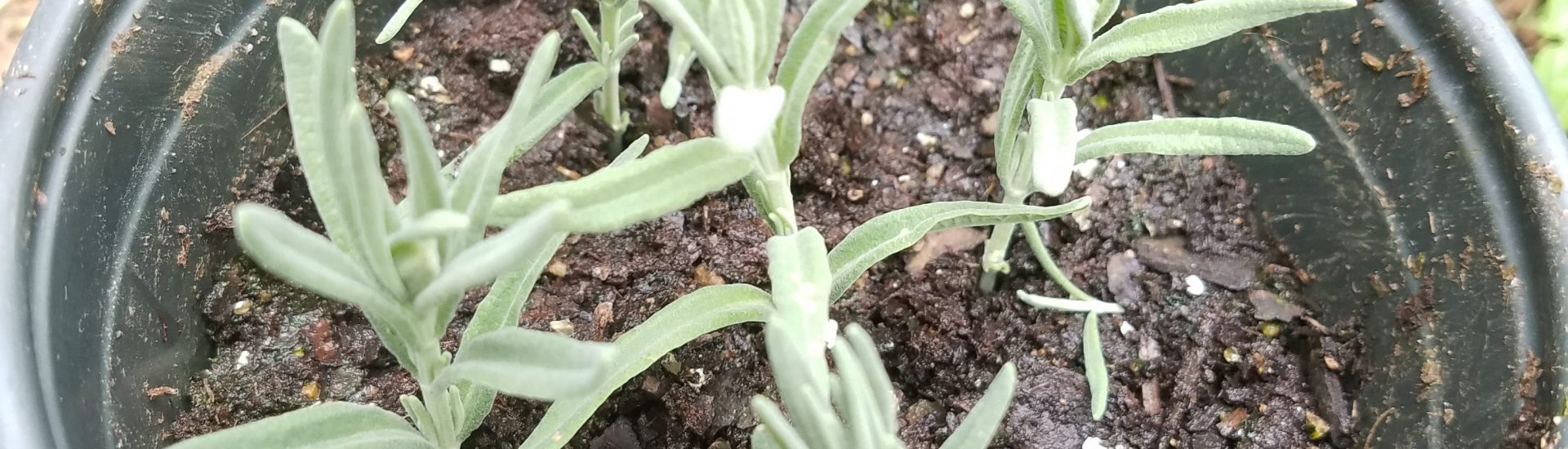 Propagating Lavender by Cuttings