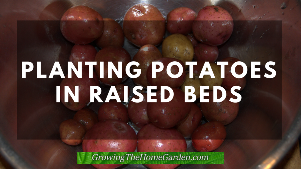 planting potatoes in raised beds