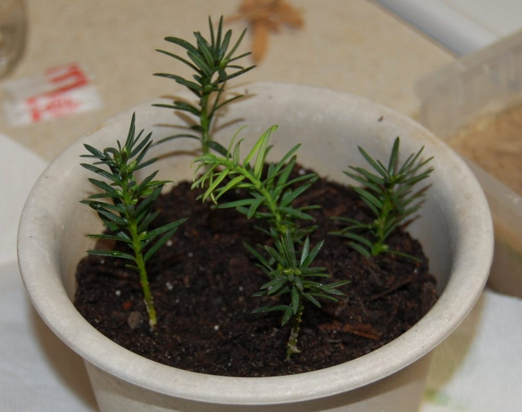 Growing Yew from Cuttings