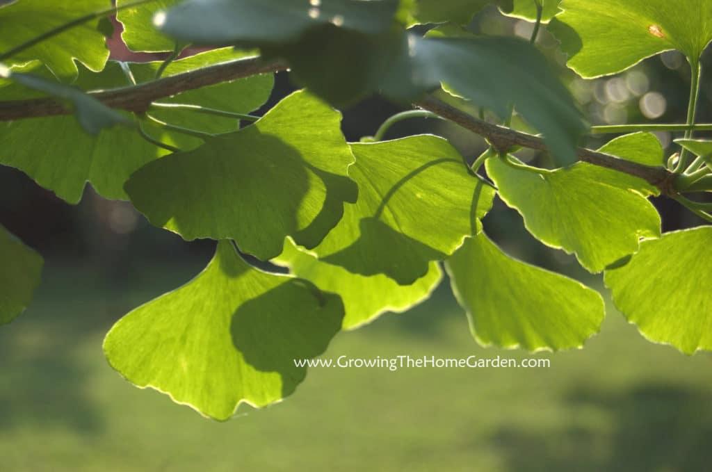 fan shaped leaves of a ginkgo tree